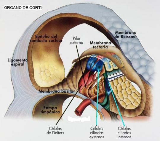 Resultado de imagen de celulas ciliadas oido